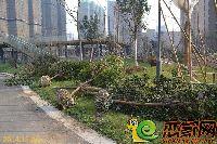 发展红星城市广场小区绿化正在维护中