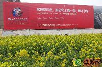 发展红星城市广场小区旁的油菜花